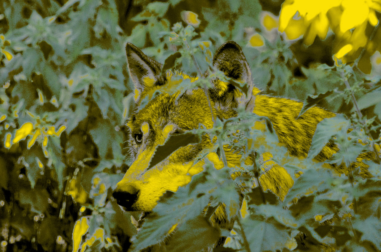 wolf-1341082_1280