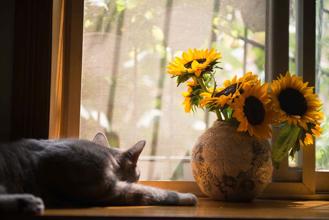gray-cat-near-brown-vase-with-sunflowers-674580